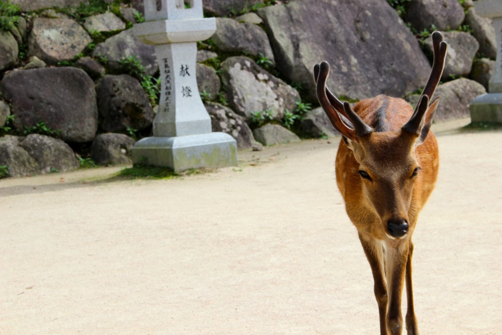 The deer act like one of the people on Miyajima - interacting with the crowds so comfortably!